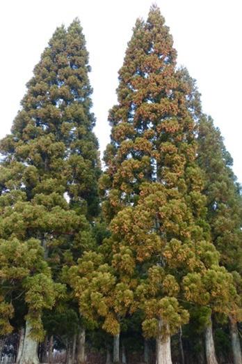 杉と桧の特徴と性質